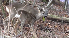 Stock Video Footage of Mother and baby deer eating fresh leaves in the forest