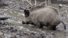 Wild boar shits in the mud Stock Footage