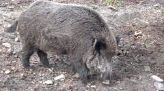 Huge male wild boar seeking for food in the forest Stock Footage