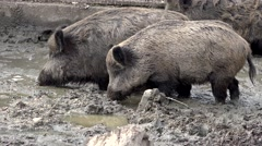 Family of wild boars walking in the mud Stock Footage