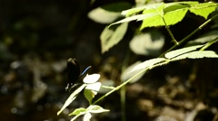 Beautiful Demoiselle, Calopteryx virgo Stock Footage