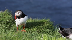Puffin at Latrabjarg Stock Footage