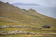 Sheep Farming - Carcass Island - Falkland Islands - stock photo