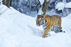 Stock Photo of Siberian Tiger or Amur Tiger Panthera tigris altaica in deep snow captive