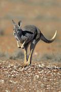 Red Kangaroo Macropus rufus adult female jumping Sturt National Park New South Kuvituskuvat