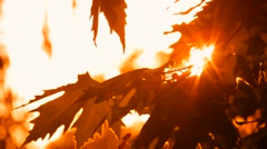 Orange Leaves Sycamore Sanctified Sunshine Stock Footage