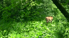 Ultra hd, 4k, real time;old smart fox hiding in a forest Stock Footage