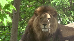 ULTRA HD 4k real time; Close up of a majestic male lion - stock footage