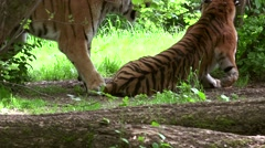 Reproductive ritual between two gorgeous tigers Stock Footage