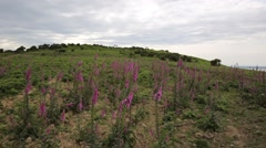 Wild pink foxglove flowers The Gower peninsula South Wales UK Stock Footage