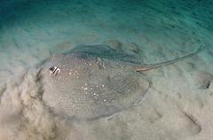 Round Ribbontail Ray Taeniura meyeni on sandy bottom Red Sea Marsa Alam Abu - stock photo