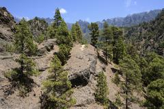 Stock Photo of Hiking trail through sparse pine forest Canary Island pines Pinus canariensis