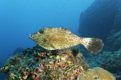 Scribbled leatherjacket filefish Aluterus scriptus above coral reef Cocos - stock photo