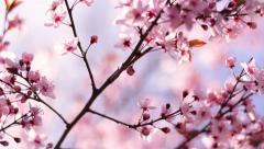 Pan across blooming pink cherry branch on blue sky in sunny day. Stock Footage