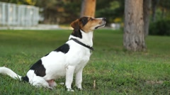 Dog Sitting On The Lawn Stock Footage