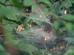 funnel-web spider - Agelena labyrinthica - stock photo