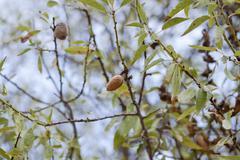 Almond nut fruit tree outdoor in sumemr autumn Stock Photos