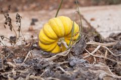fresh orange yellow pumpkin in garden outdoor - stock photo