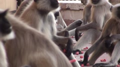 Band of monkey eating in India Stock Footage