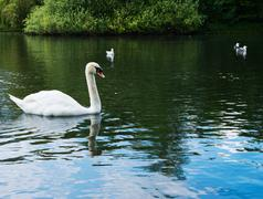 Swan in a water pond Stock Photos