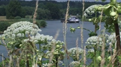 Giant Hogweed, Heracleum mantegazzianum blooming in river landscape Stock Footage