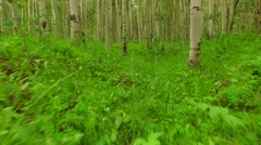 Stock Video Footage of Walking Through Aspen Forest