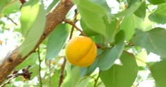 Ripe Apricots On Tree Branch 4k Stock Footage