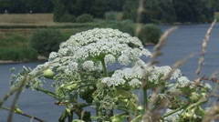 Giant Hogweed, Heracleum mantegazzianum, blooming alongside river bank Stock Footage