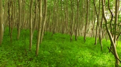 Walking Through Aspen Forest Stock Footage