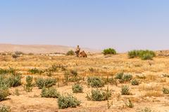 A domesticated herd of Arabian Camels graze at the Israeli Negev Desert Stock Photos
