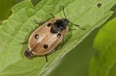 Peltidae Peltidae sp BadenWurttemberg Germany Europe - stock photo