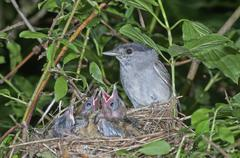 Eurasian blackcap Sylvia atricapilla male in nest with fledglings - stock photo