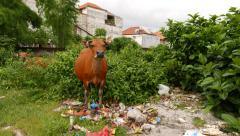 Red cow eating from food trash, waste ground at village, green bush on back - stock footage