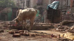 Cow in the district of the city of the joy at Calcutta Stock Footage