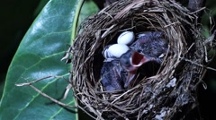 Newly fledged birds gaping on nest Stock Footage