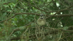 BlueJay in Spruce Tree 5 Stock Footage
