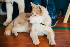Young Happy Husky Puppy Eskimo Dog - stock photo