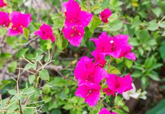 Bougainvillea flower in the garden - stock photo