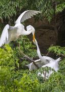 Great Egret Ardea alba feeding a young at rookery High Island Texas USA Stock Photos