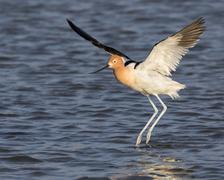 American Avocet Recurvirostra americana landing in a tidal marsh Galveston Stock Photos