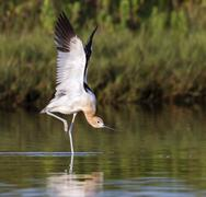 Stock Photo of American Avocet Recurvirostra americana stretching wings in tidal marsh