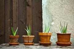 aloe vera plant in the garden - stock photo