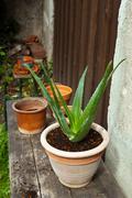 Aloe vera plant in the garden Stock Photos