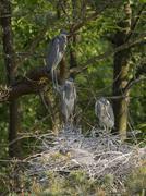 Stock Photo of Grey herons Ardea cinerea RhinelandPalatinate Germany Europe