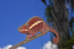 Male panther chameleon Furcifer pardalis lowland rainforests of Ankaramy Stock Photos
