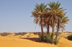 Goats under date palms in sand Rachid oasis Tagant region Mauritania Africa - stock photo