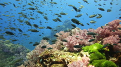 Stock Video Footage of Coral reef abundant with marine life fish