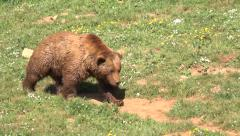 Bear walking Stock Footage