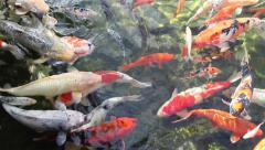 Reservoir with goldfishes Stock Footage
