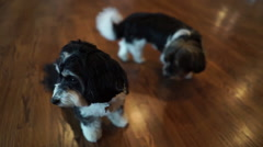 Two cute small puppy dogs sit on floor Stock Footage